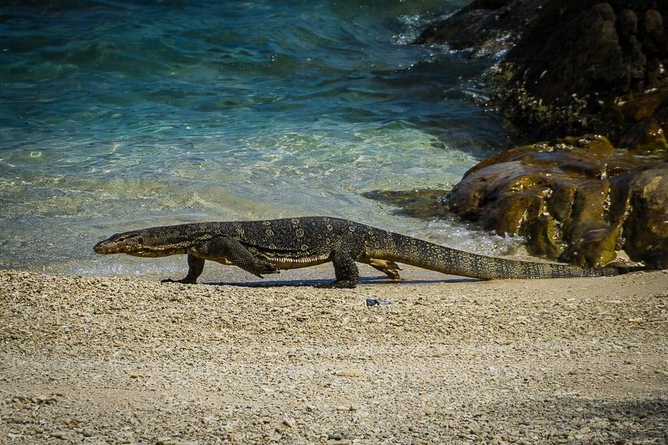 Lizard Perhentian Island Malaysia