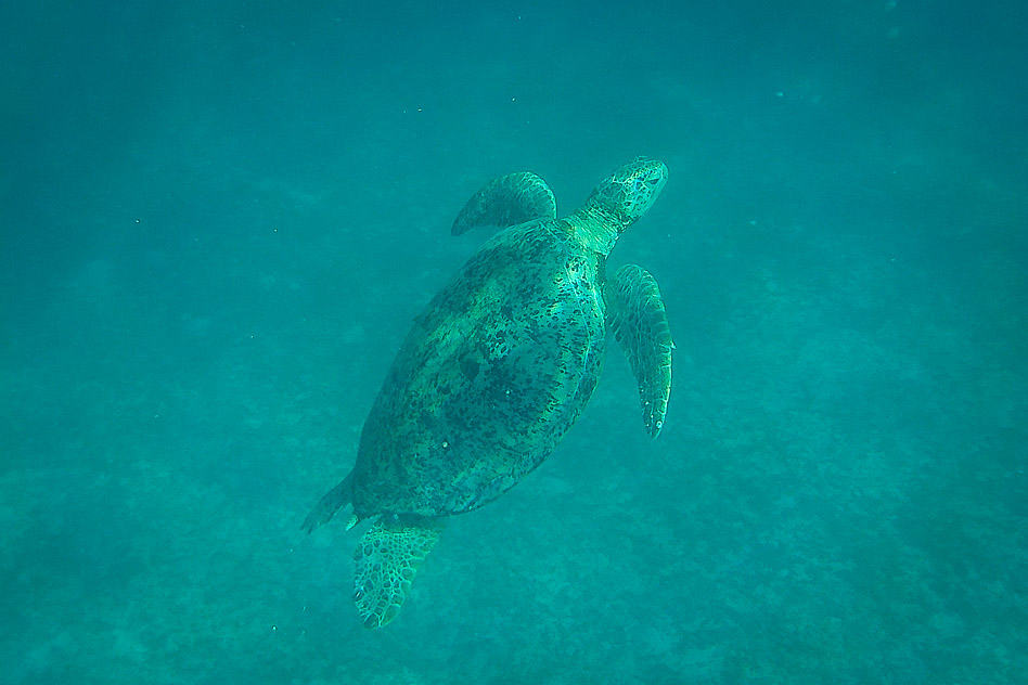 Sea Turtle Snorkelling Perhentian Malaysia