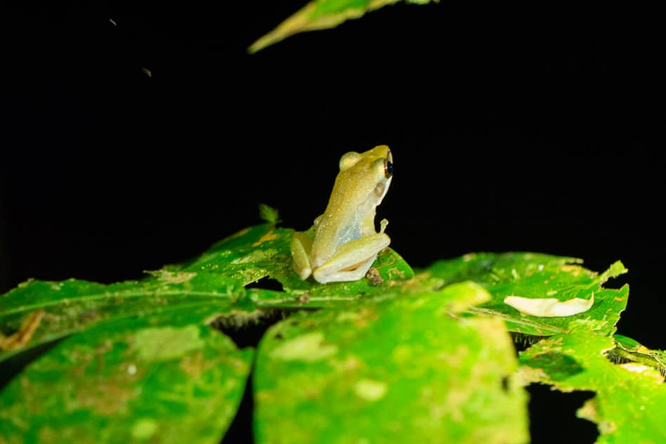 Night Walk Bako National Park Frog Guide