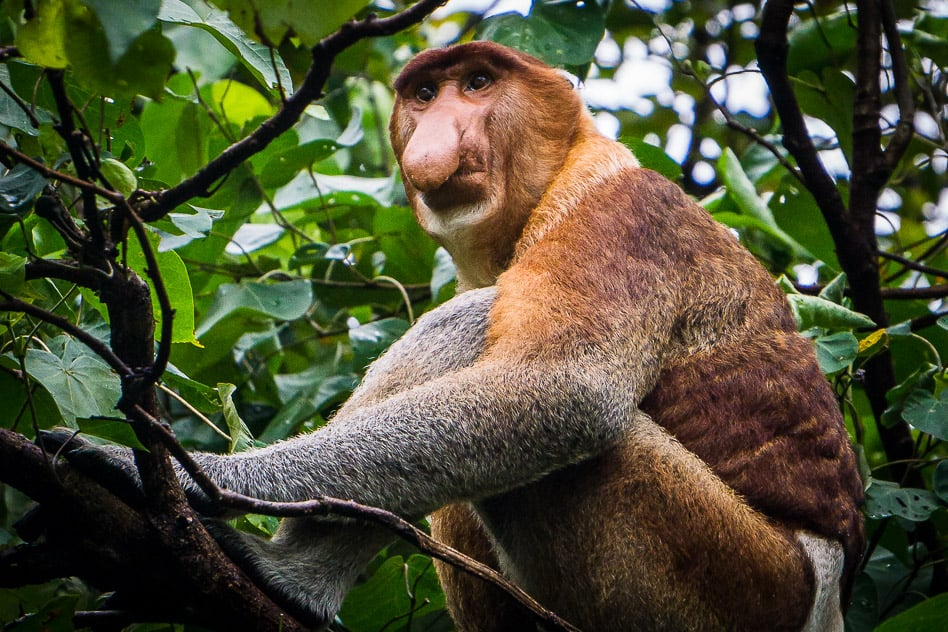 Bako National Park Proboscis Monkey Borneo Wildlife