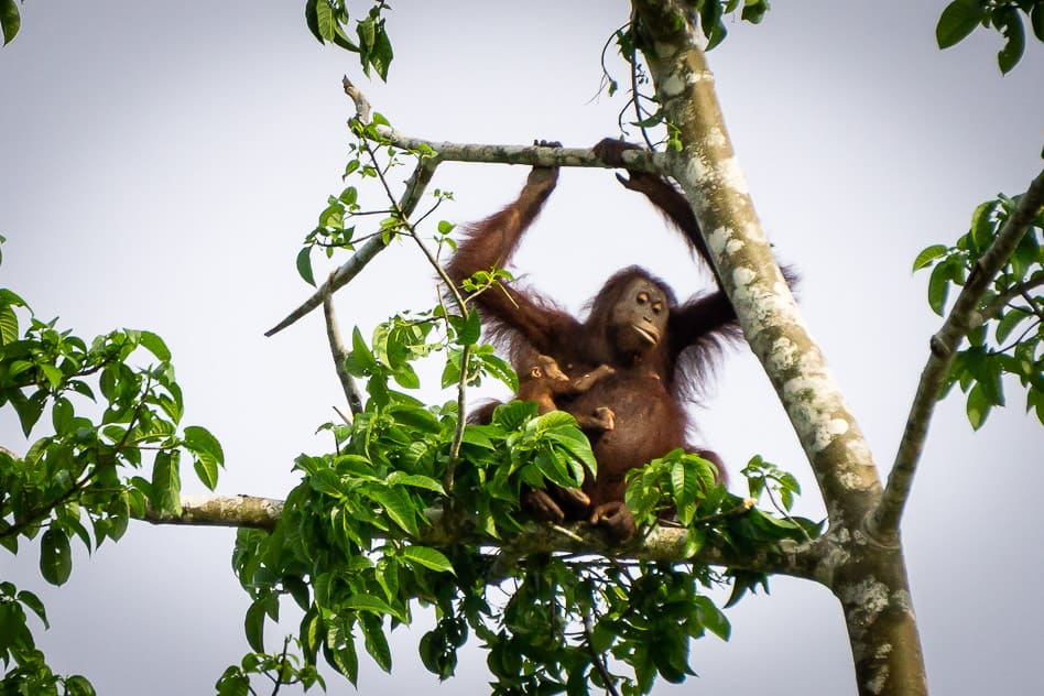 Orangutan spotted at Kinabatangan River in Borneo