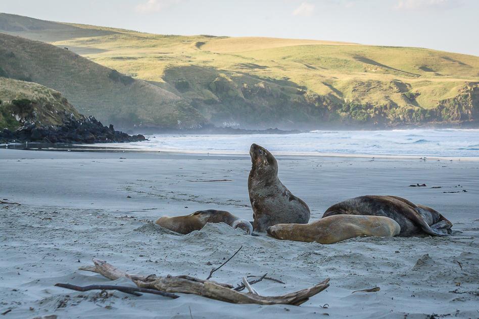 ELM Wildlife Tours Dundedin Otago Peninsula Sea Lion