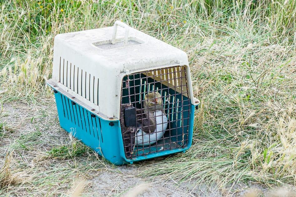 ELM Wildlife Tours Yellow-Eyed Penguin Rescued Otago Peninsula