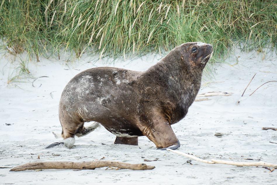 Sea Lion Awake Otago ELM Wildlife Tours New Zealand
