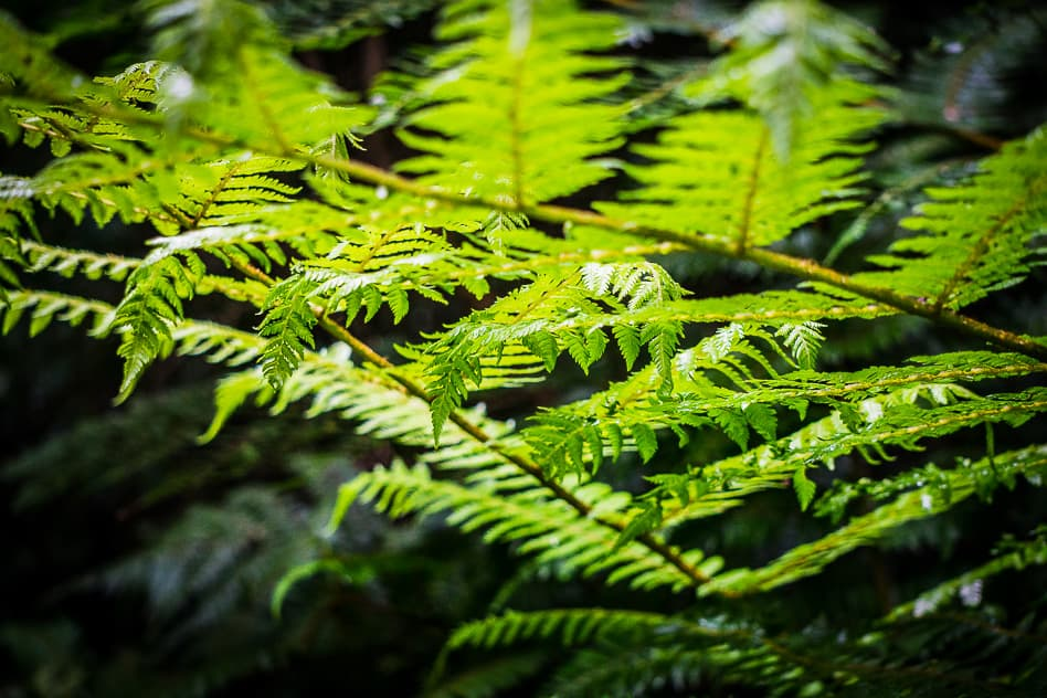 Forest Fern Protected Orokonui Ecosanctuary New Zealand