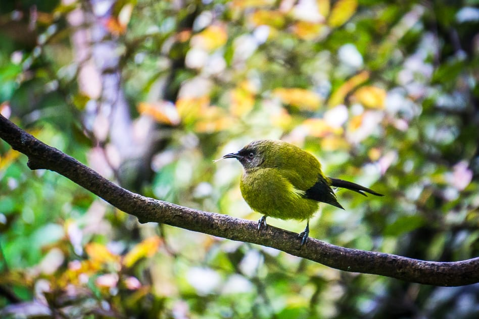 Rifleman Bird Small New Zealand Green Orokonui Ecosanctuary