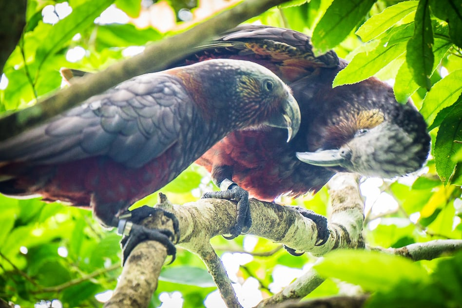 Kaka Endangered Bird Orokonui Ecosanctuary New Zealand