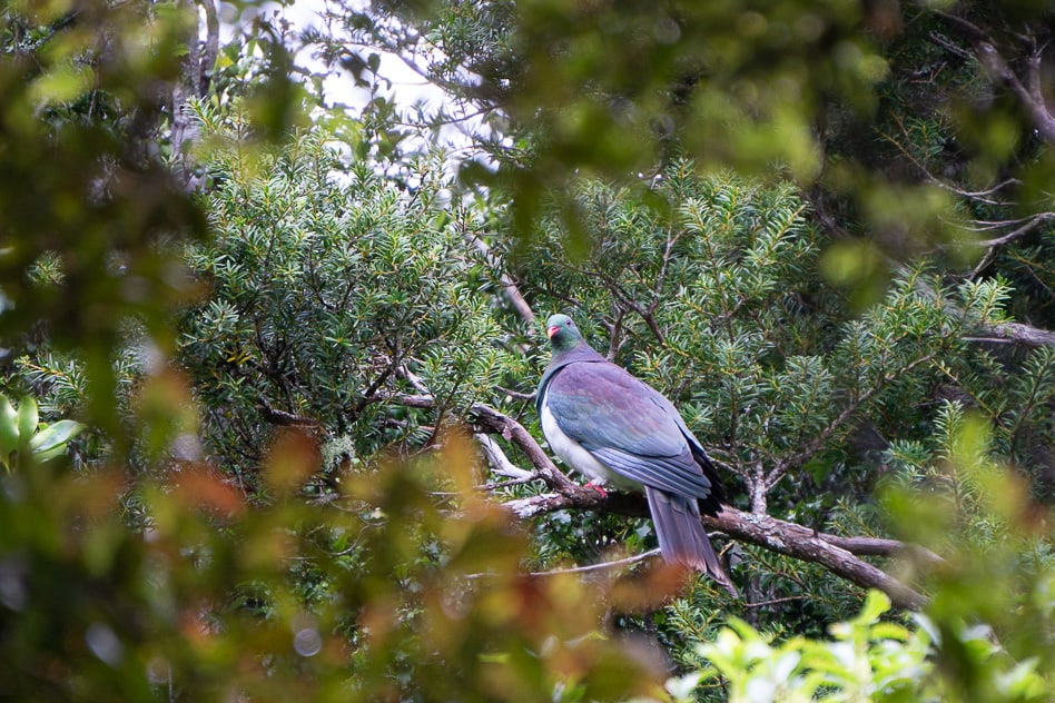 New Zealand Wood Pigeon Orokonui Ecosantuary New Zealand