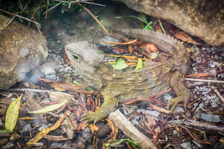 Tuatara Reptile Dinosaur Orokonui Sanctuary New Zealand