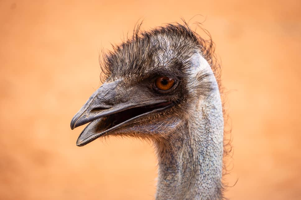 Emu Outback Australia Erldunda