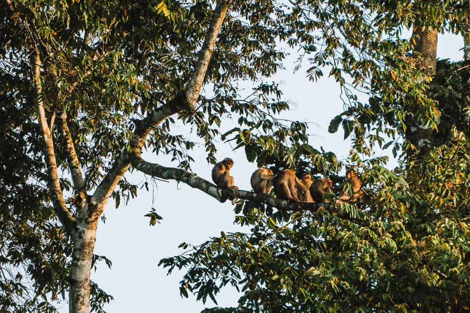 Group of macaques seen during our wildlife spotting on the Kinabatangan River in Borneo