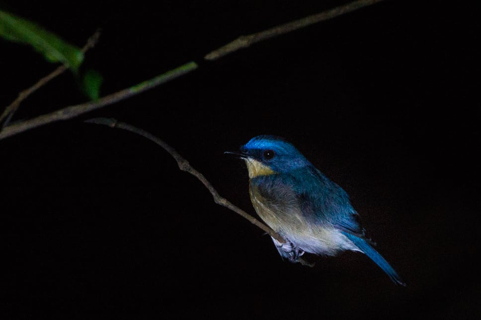 Bird spotted during a night walk at the Kinabatangan Rainforest in Borneo