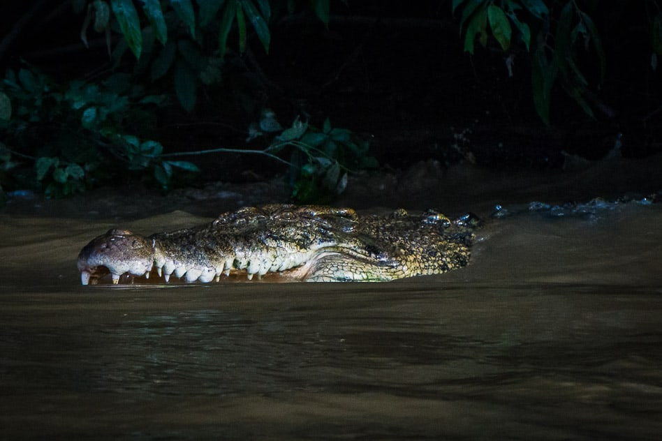 Saltwater Crocodile in the Kinabatangan River in Borneo