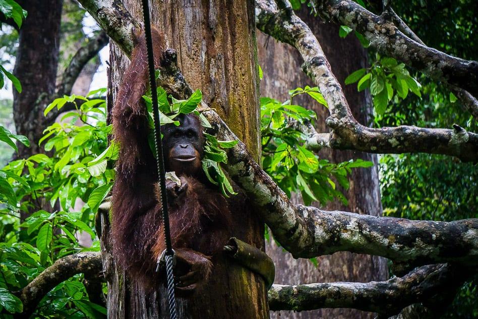 Orang Utan Sepilok Borneo