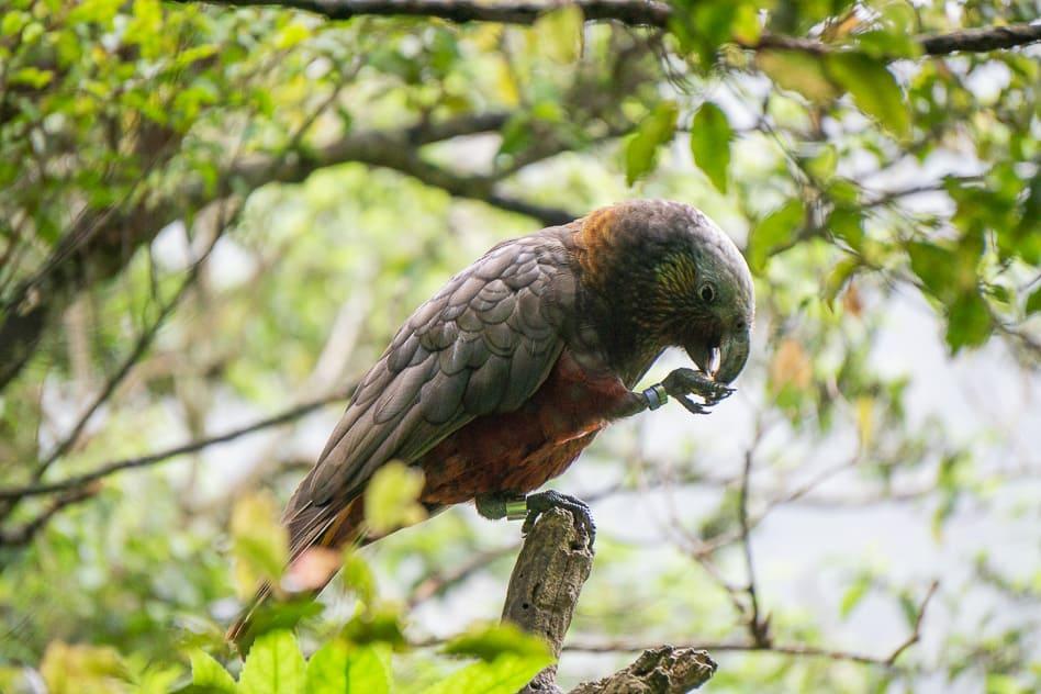 Kaka Orokonui Endangered Bird New Zealand