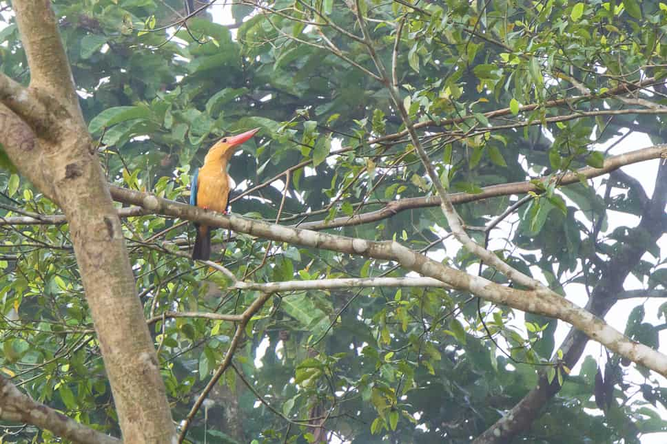 Kingfisher spotted during our afternoon cruise in Borneo