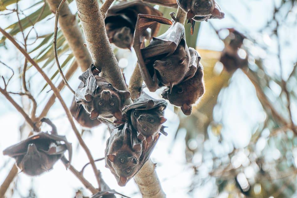 Mataranka Hot Springs Bats Flying Foxes