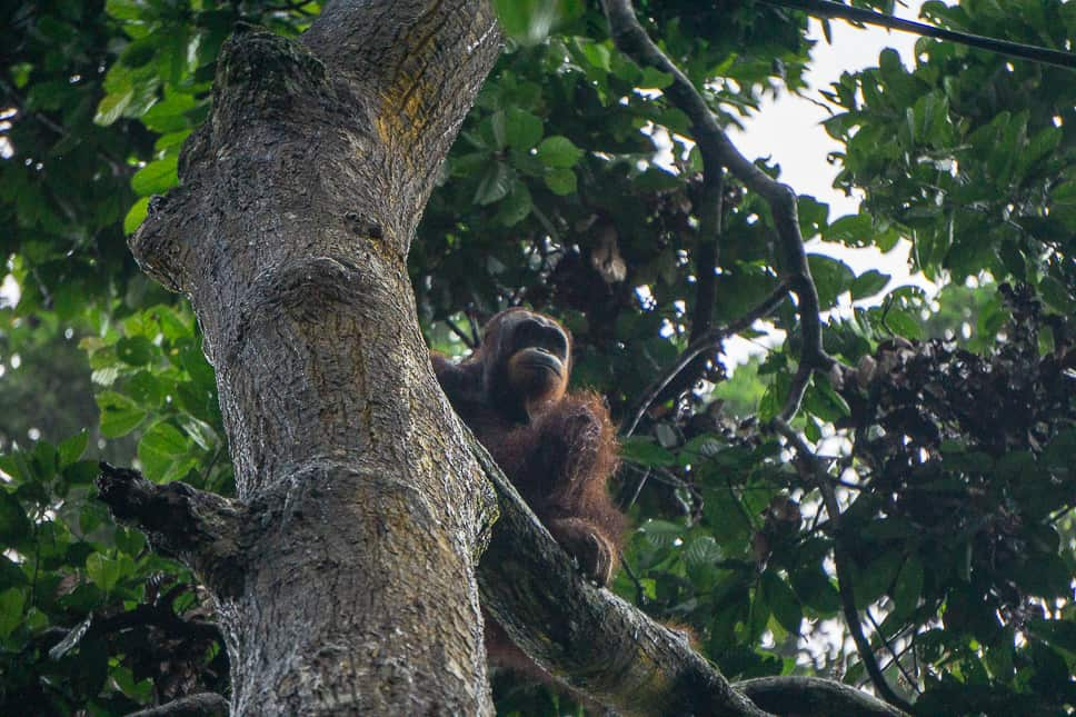 Spotting an orangutan is the reason people come to Kinabatangan River in Borneo