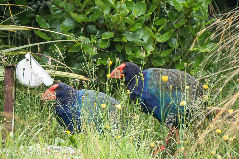 Takahe Endangered Bird New Zealand Orokonui Sanctuary