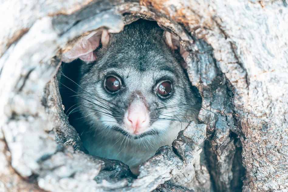 Possum Australia Wilmington Tree