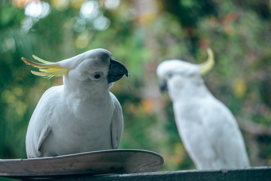 Brisbane Australia Cuckatoo Kaketoe