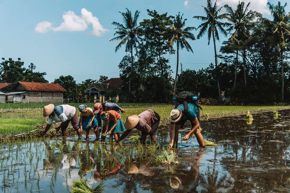 Planting Rice with our kids in Yogyakarta Java with Via Via Tours