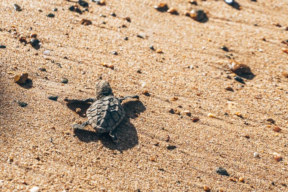 Turtle Baby Bundaberg Beach Mon Repos Australia