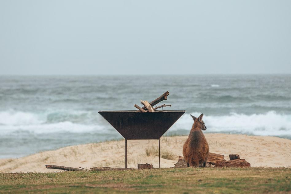Wallaby Ocean Beach Potato Point NSW