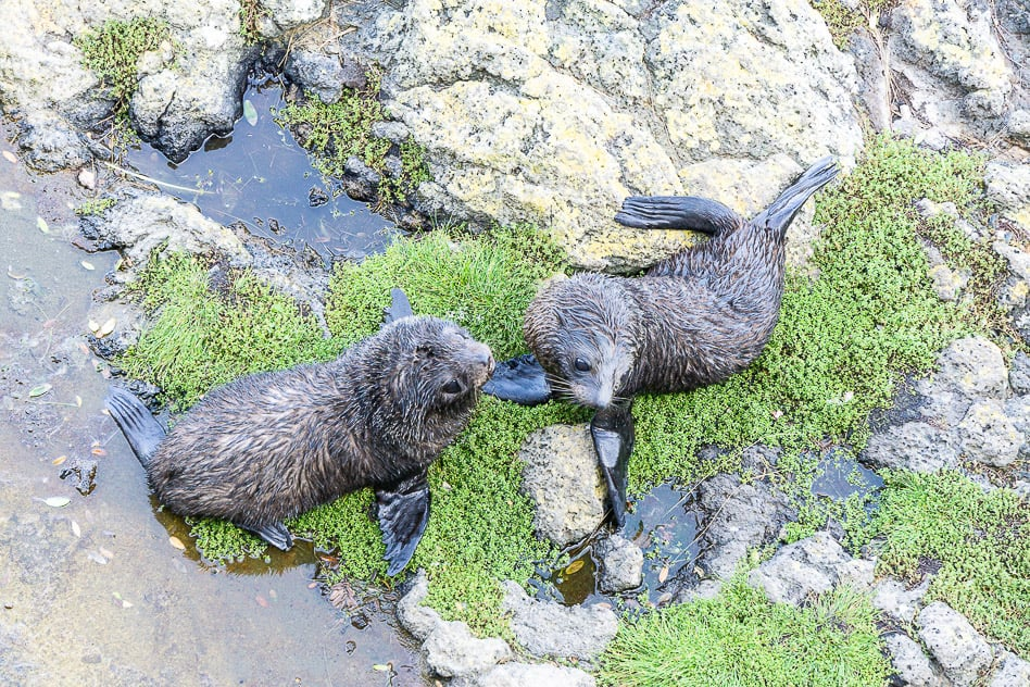 Baby Seals Otaga Peninsula ELM Wildlife Tours